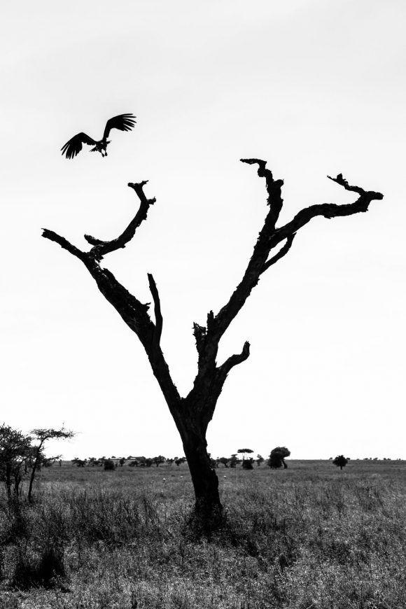 L'ombre du vautour