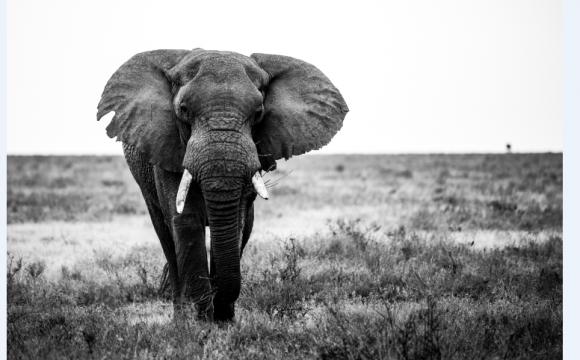Le vieil éléphant